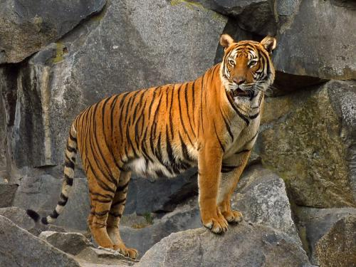 How 'tiger farms' have turned a wild animal into a species worth more dead than alive