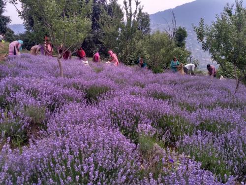 Jammu's purple revolution: Lavender brings in scent of profit for Doda farmers
