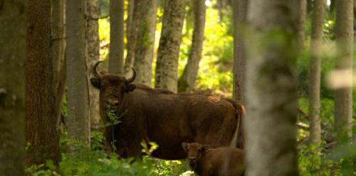 World Wildlife Day: WWF urges stakeholders to save Europe's last old-growth forests