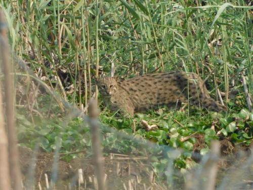 World Wildlife Day: First-ever survey on fishing cats of the Chilika starts