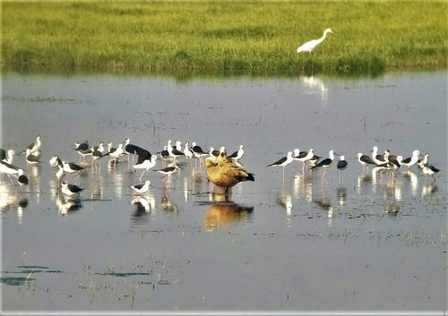 Flamingos, pelicans yet to leave Chilika, despite early onset of summer