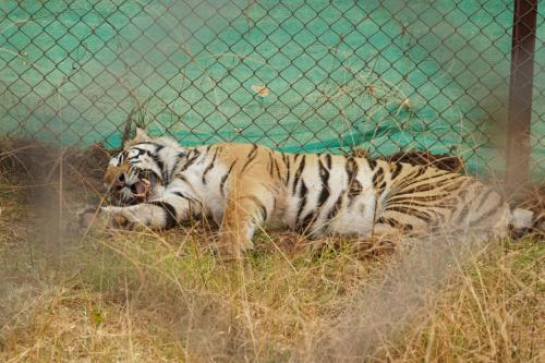 Tigress Sundari, brought to Odisha from Madhya Pradesh in 2018, heads back home