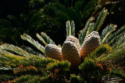 Climate mapping can point to danger spots where new pest threatens Africa's cycads