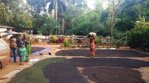 COVID-19 hits farms: Odisha's pepper farmers struggle to recover input cost. Photo: Ashis Senapati