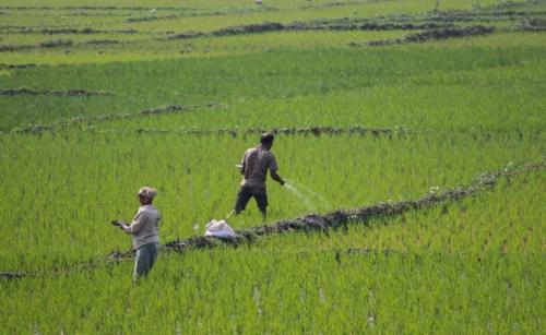 Scientists identify genes to improve fertiliser nitrogen use efficiency in rice