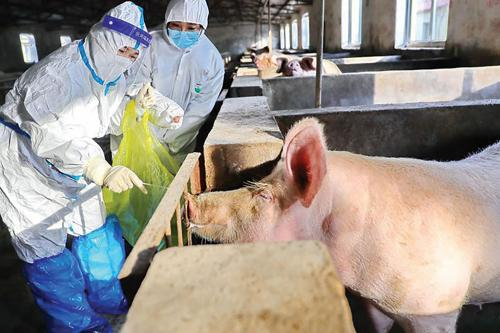 African swine fever: Ripple effect across the world