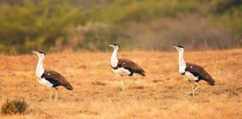 Can painting a blade black save Great Indian Bustards from wind turbines?