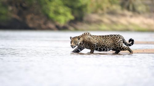 Don't assume Pantanal's jaguars are safe. Here is why