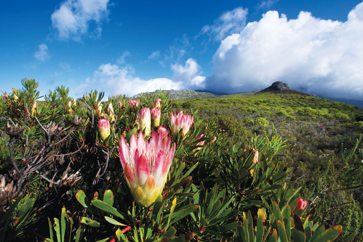 One can predict the habitat of king protea looking at patterns in cloud cover (Photo: ISTOCKPHOTO)