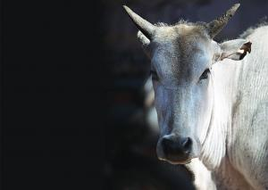 How cow became the mother of demigods