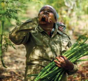 A worker collects pods at a moringa farm in Telangana's Zaheerabad town (Photo: Tejaswi Dantuluri)