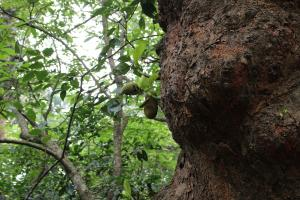 This 200-year-old jackfruit tree inside the fores still produces fruits for elephants, birds and Lion Tailed Macaques Credit: Jemima Rohekar