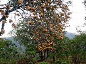 Africa's untapped goldmine of food biodiversity
