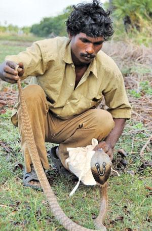Chennai-based Irula Snake Catchers' Industrial Cooperative Society is the only organisation that extracts venom from snakes like this Indian or Spectacled Cobra (Credit: wildwildworld.net.ca)