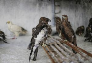 Brothers Mohammad Nadeem and Mohammad Saud, run one of the world's biggest hospitals dedicated to predatory birds in the world, which is located in Delhi's Wazirabad. Here a kite, which was recently operated upon, recovering in the bird hospital (Credit: