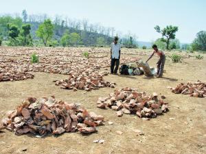 मध्य प्रदेश ने 14 वर्षों के दौरान तेंदु पत्तों से अर्जित 365 करोड़ रुपए का राजस्व आदिवासी समुदायों के साथ नहीं बांटा है (कुमार संभव श्रीवास्तव / सीएसई)