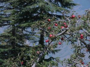 इन जिलों के किसान सेब के बागों में सब्जियों के अलावा कम ऊंचाई (1000-1200 मीटर) पर उगाए जाने वाले कीवी और अनार जैसे फलों की मिश्रित खेती कर रहे हैं। Credit: Ravleen Kaur