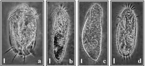 अध्ययन में शामिल सूक्ष्मजीव यूप्लोट्स, नोटोहाइमेना, स्यूडॉरोस्टाइला और टेटमेमेना