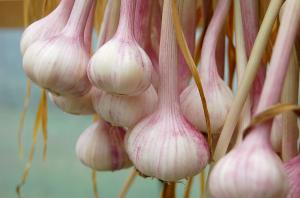 Research sheds new light on garlic