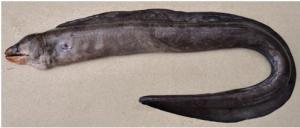 Scientists find new eel species in Odisha, name it Odishi
