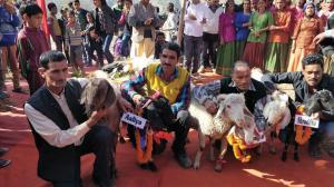11 मार्च को टिहरी के पतवारी गांव में बकरियों का स्वयंवर कर लोगों को पशुपालन के लिए प्रोत्साहित करने की कोशिश की गई (फोटो : वर्षा सिंह)