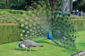 Peacock wooing peahen. Photo by ToastyKen/Wikimedia Commons.