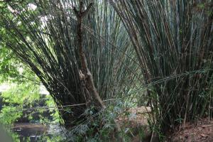 Bamboo can generate 516.33 million man days of work in India every year