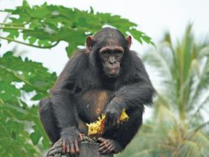 The future of the chimpanzee