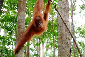 Orangutan, Africa