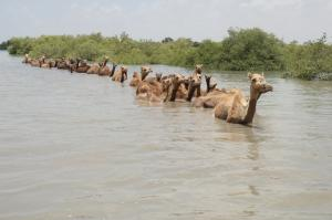 Save these camels of Kutch