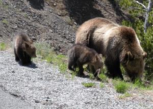 Trophy hunters take aim at Yellowstone's Grizzly Bears