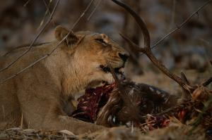 Emerging cross-species infections are killing lions and humans