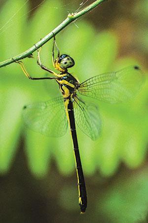The Goan dragonfly has a peculiar habit of hanging from vegetation (Credit: Thomson Saburaj)