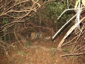 Tiger deaths