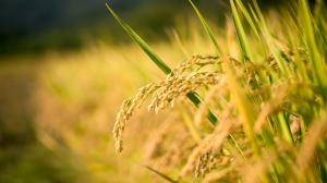 Commercialisation of GM rice turns out to be a dud: report