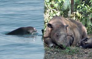 Some good news for beleaguered Vaquita and Sumatran Rhino