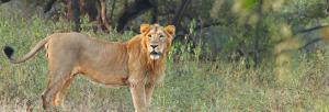 Lion attack in safari park near Gir, one killed