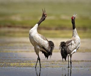 As black-necked cranes return to Tawang, expert says awareness key for survival