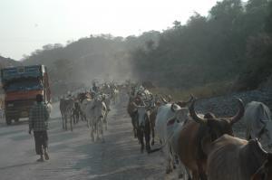 गाय संकट-1: गुपचुप तरीके से नेपाल भेजे जा रहे हैं मवेशी