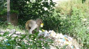 Garbage dumps leading to shift in food habits of wild animals