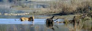 The Royal Bengal could become a 'tiger of the snow': study
