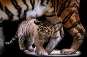 10 years since St Petersburg Declaration, hopes for doubling tiger numbers dim