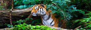 The more Asians migrate to cities, the more it will help tigers, says study