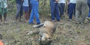 Odisha forest officials baffled by three leopard deaths in less than a month