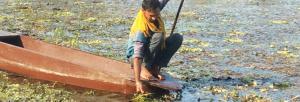 Shadowed by Khajuraho, singhara cultivators struggle