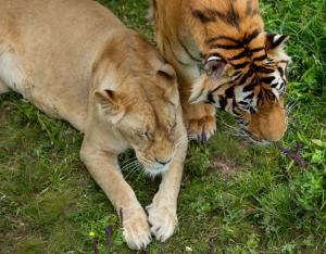 Camera trap proves Gujarat now has tiger