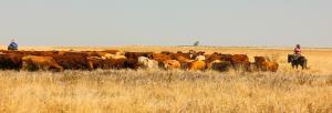 500,000 cattle dead in Australia floods