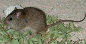 Bramble Cay melomys is first mammal to go extinct due to climate change