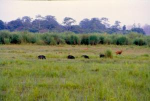 जंगली सुअर के जरिए फैल रहा है खतरनाक ट्रिचिनेल्ला परजीवी का संक्रमण