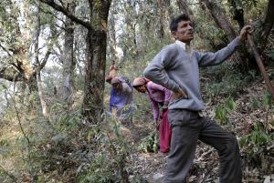बूढ़े और कमजोर पेड़ों को काटना जरूरी : शोध